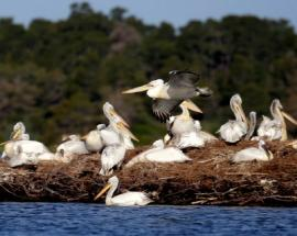 In pics: Rescued pelican enjoys growing fame at Albanian wetlands park