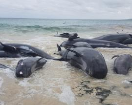 Whales die after mass stranding in Australia