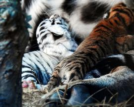 Newly bred Bengal tiger cubs in observation