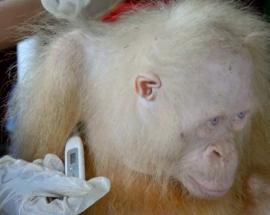 Albino orangutan's health improves 10 days after rescue in Indonesia