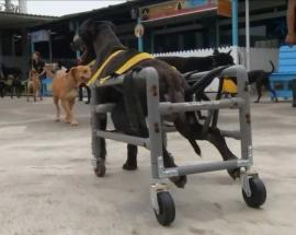 Disabled dogs in Taiwan get hot new wheels