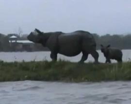 WATCH: Assam government's neglect leads to Rhino deaths at Kaziranga National Park